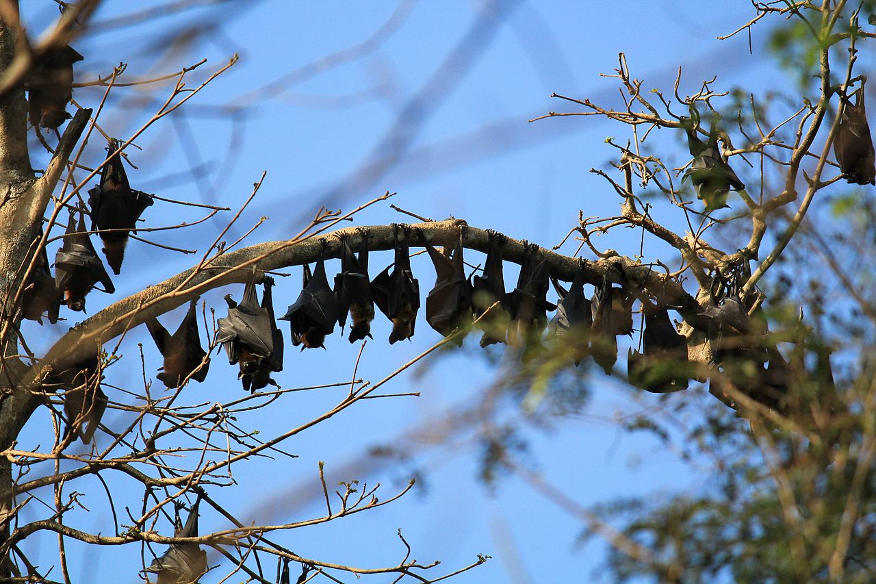 bats resting during the day. photo by Abijith k.a Wikimedia Commons