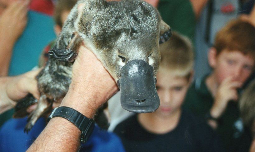 Did You Know? Platypus Population is Slowly Declining in Australia