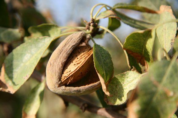 almond-tree-