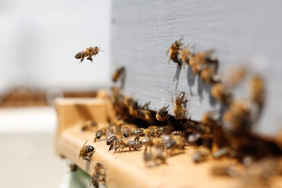 bees might thrive again due to pandemic and lockdown