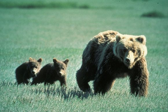 grizzly corona