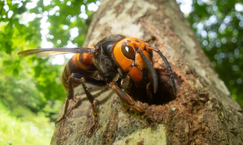 Remember the Viral Asian Giant Hornet? Apparently They're Not All Bad