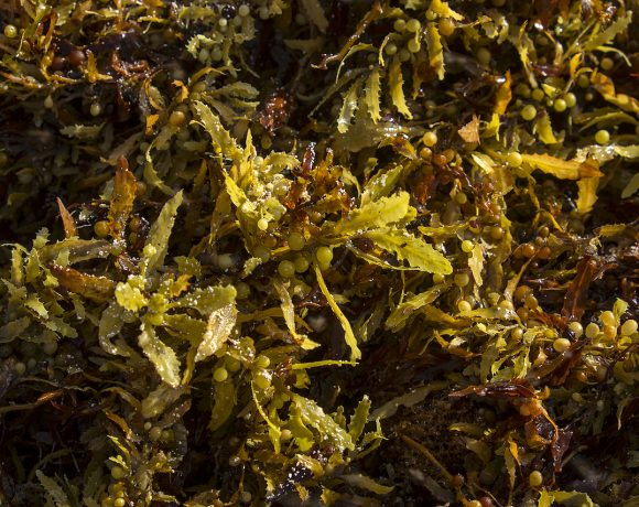 Seaweed Can be Invasive, but We Can Turn It Into Biofuels or Fertilizers