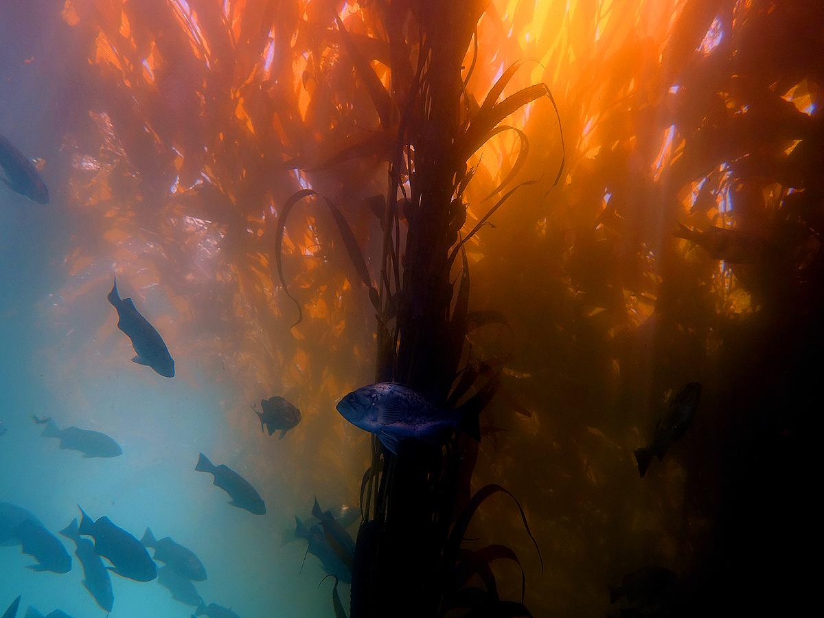 Kelp forest by Gustavo Gerdel Wikimedia Commons