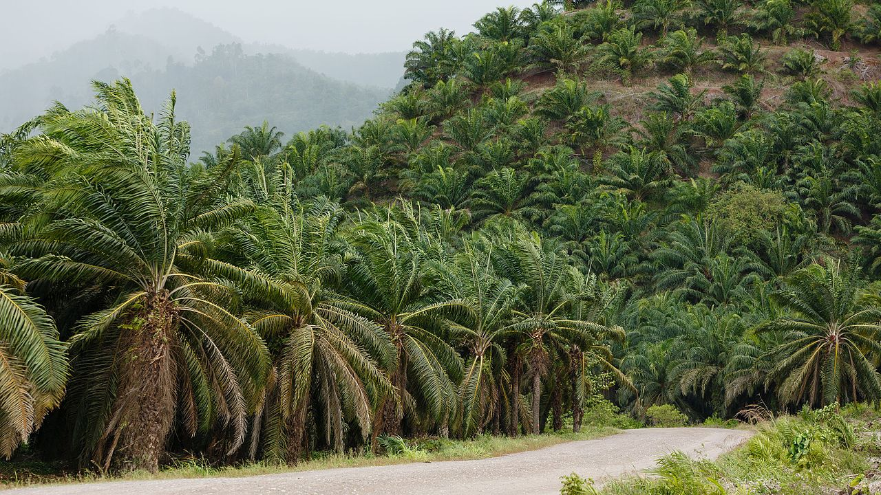 Palm oil plantation in Kunak District, Sabah. Photo by CEphoto, Uwe Aranas Wikimedia Commons
