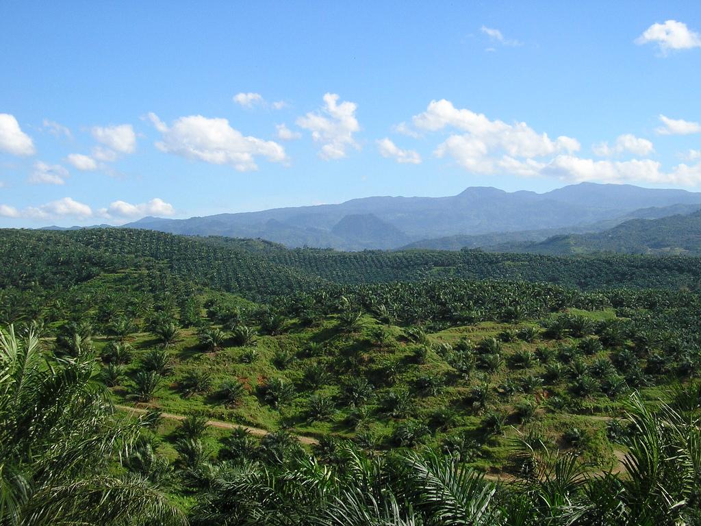 oil palm plantation in Cigudeg, Indonesia. Photo by Achmad Rabin Taim Wikimedia Commons