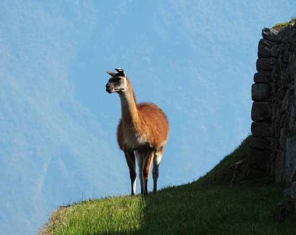 Llamas, the Animal that Might Help Humanity Fight Coronavirus