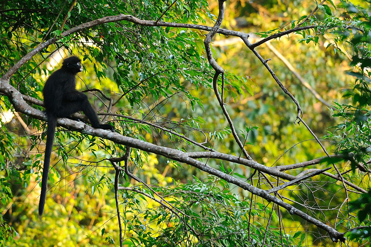 banded langur in Kaeng Krachan National Park. Photo by tontantravel Wikimedia Commons