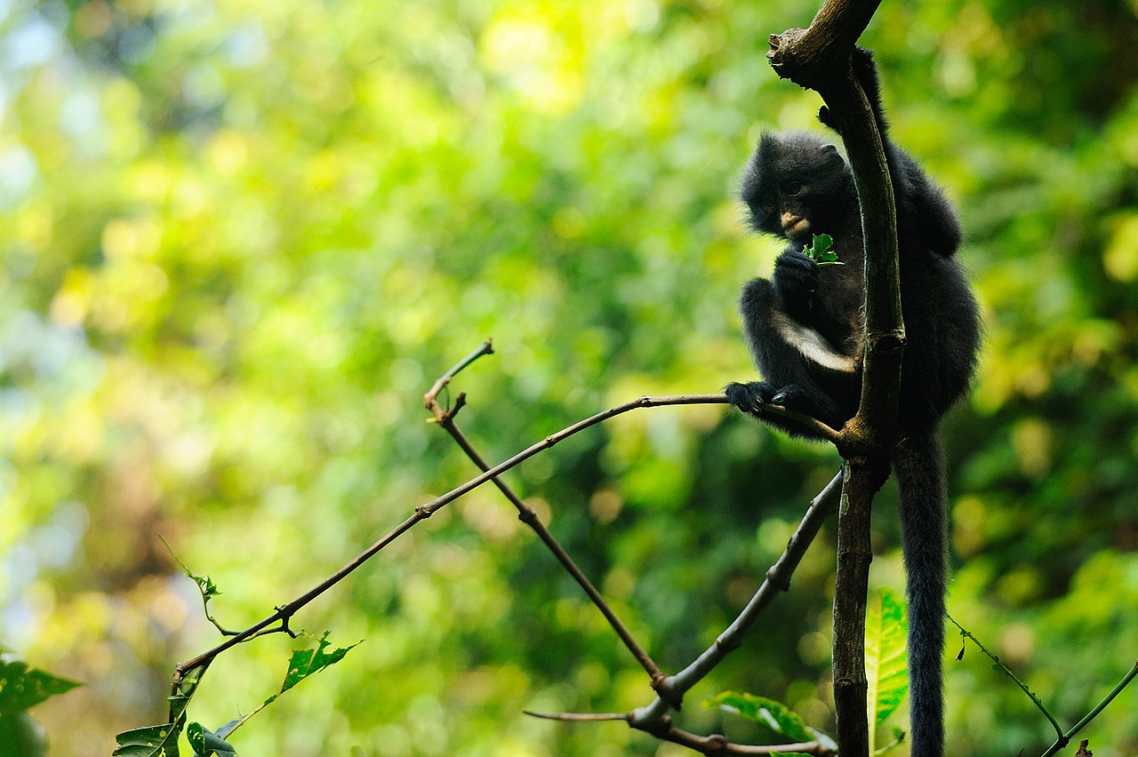 another shot of the banded langur from Kaeng Krachan National Park. What a cute little monkey. Photo by tontantravel Wikimedia Commons
