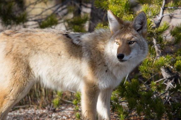 Coyote by Neal Herbert