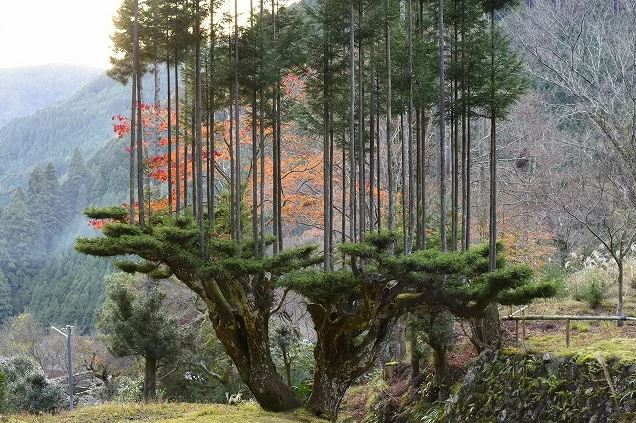 Daisugi, The Ancient Bonsai Technique That Can Prevent Deforestation