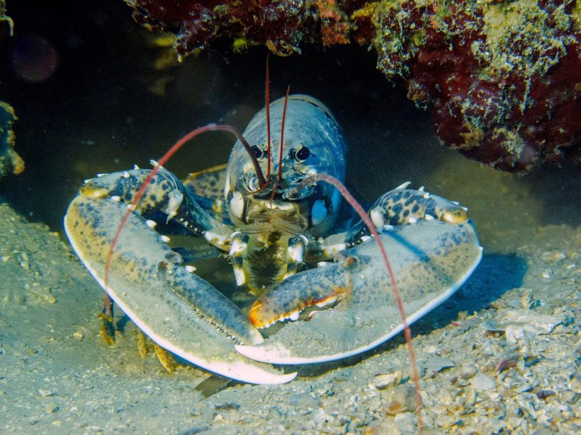 Study Finds that Microplastic Pollution Won't Let Lobster Flourish