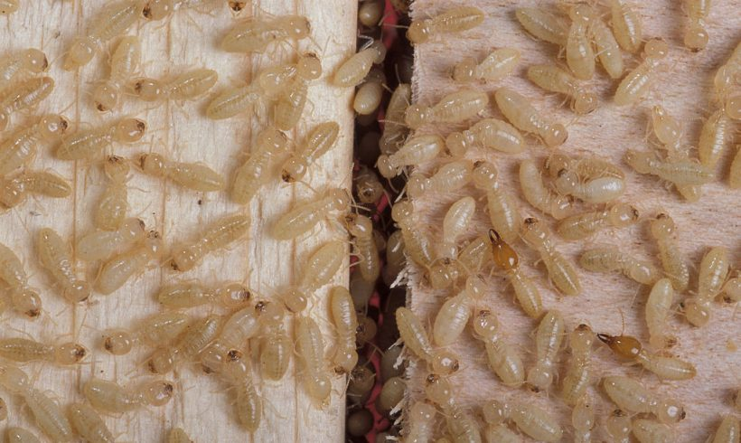 Termites Might Help Us Find New Energy Source, Researchers Said