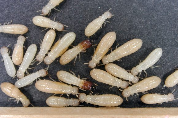 termites white (Wikimedia C0mmons)