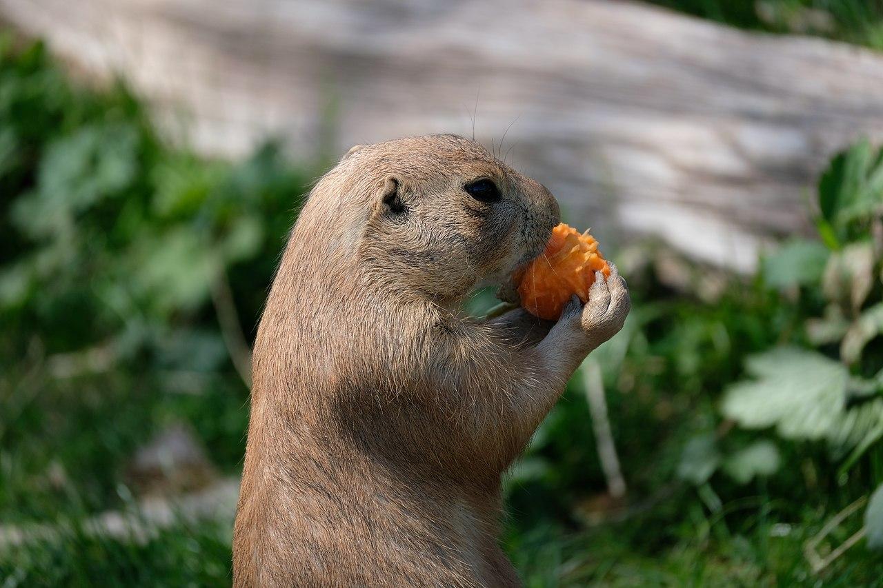 cute prairie dog by Musicaline Wikimedia Coomons