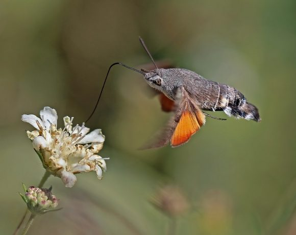 Pollinator That Doesn't Get Enough Spotlight: Hawk Moths