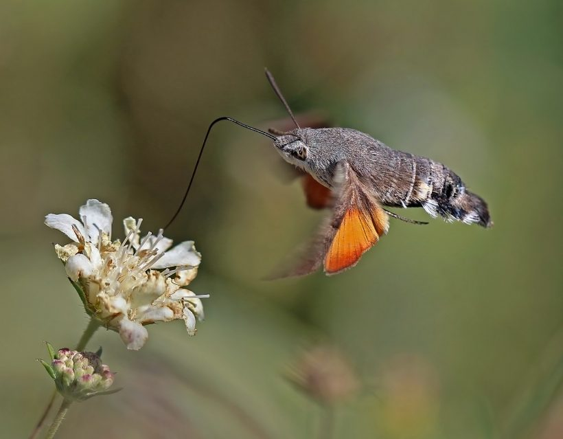 Pollinator That Doesn't Get Enough Spotlight: Hawk Moths