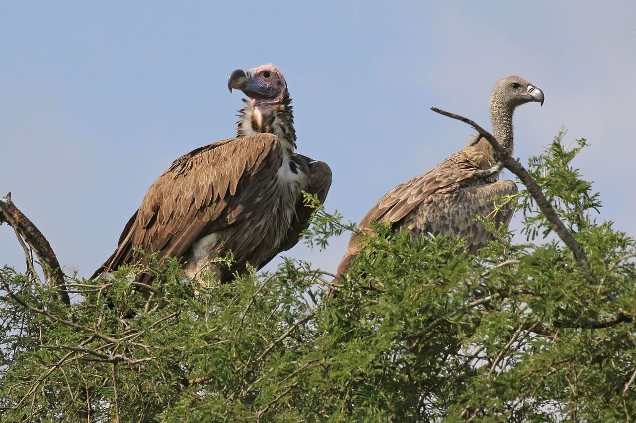 lappet-faced vulture (left) and white-backed vulture (right). photo by Charles J Sharp Wikimedia Commons