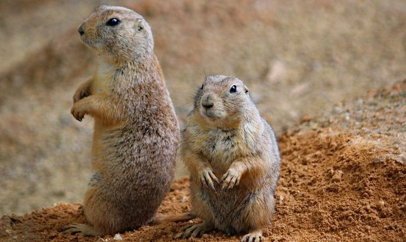 Prairie Dogs, Keystone Species that We Don't Hear Often