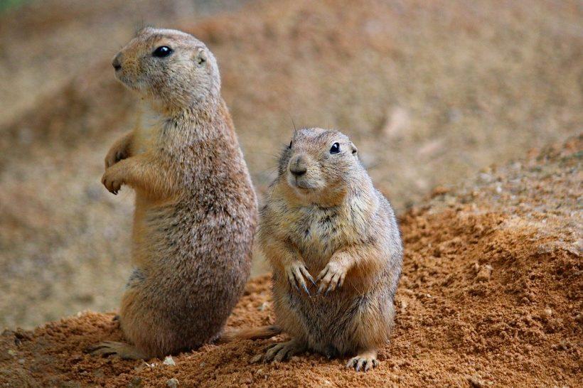 Prairie Dogs, Keystone Species that We Don't Hear Often