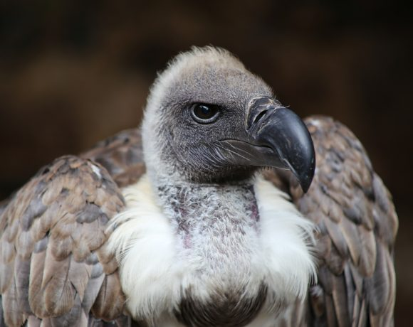 Remember the African Vulture Poisoning? Researchers Said It Poses a Global Threat