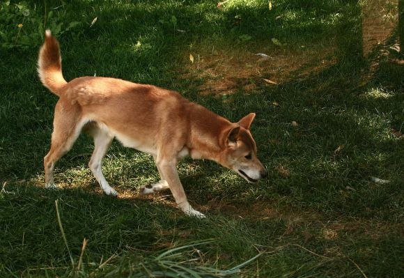 New Guinea Singing Dog on a trail. Photo by Patti McNeal Wikimedia Commons