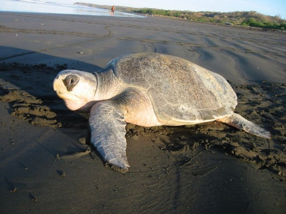 Olive Ridley Turtle by Brad Flickinger