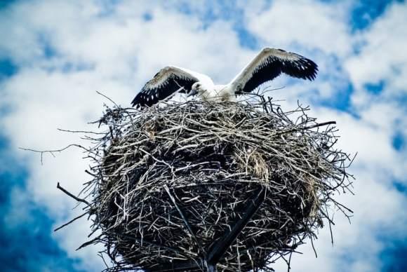 chick of stork