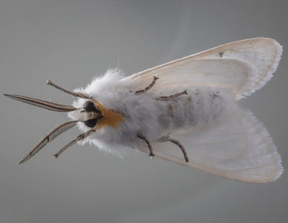 Pollination By Moths Is Hampered By The Smell Of Air Pollution