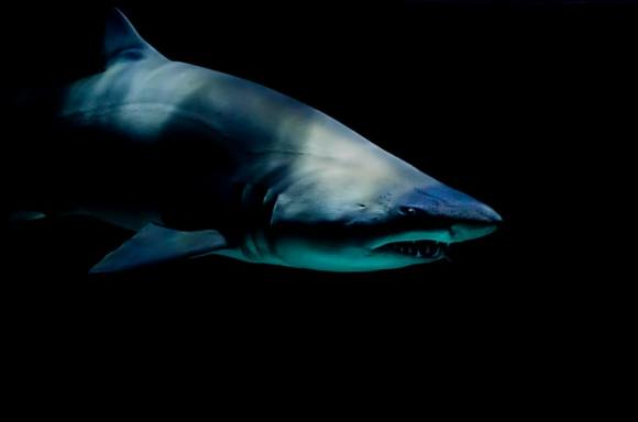 Harvesting Squalene From Half A Million Sharks For COVID-19 Vaccine?