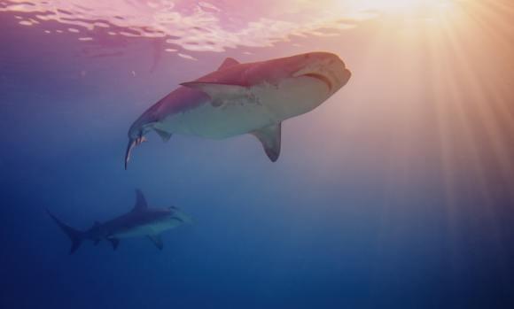 squalene shark