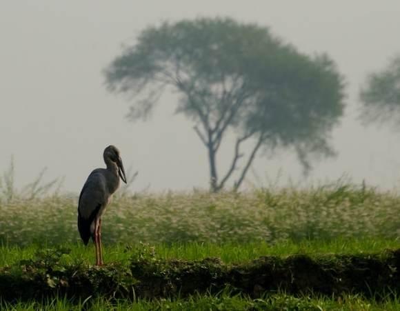 storks rice paddy