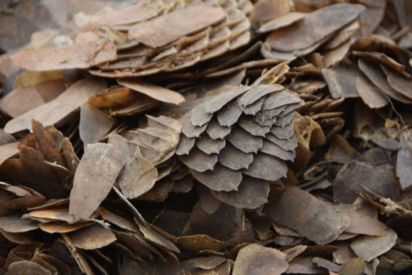 the scale cameroon pangolin