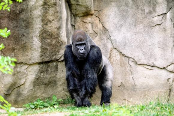 vulnerable gorilla
