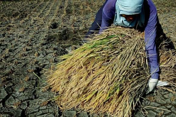 Manual Harvesting by Raymond Panaligan IRRI