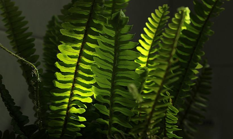 Don't You Know Ferns Can Combat Air Pollution Very Well?