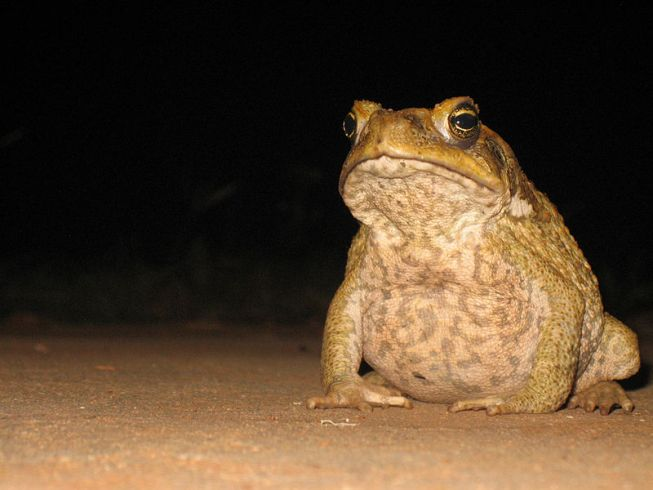 The Dark Knight's 'Harvey Dent' Story Of Cane Toad In Australia