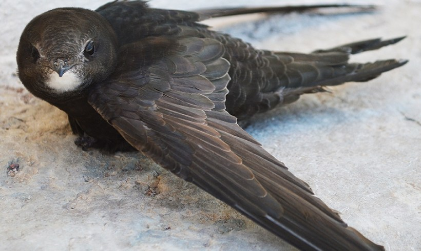 Please Welcome The Toughest Bird On Earth: Kapinis
