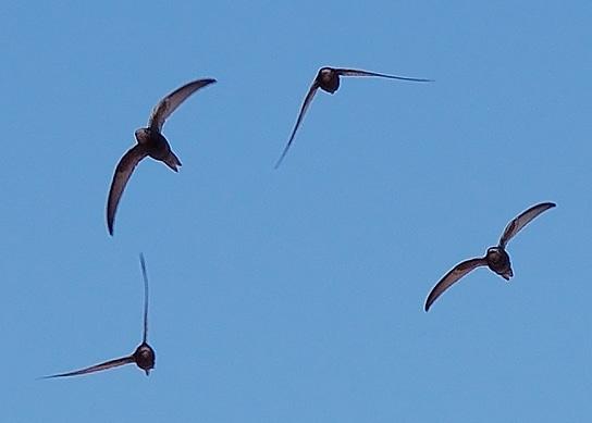 kapinis flock (Wikimedia Commons)