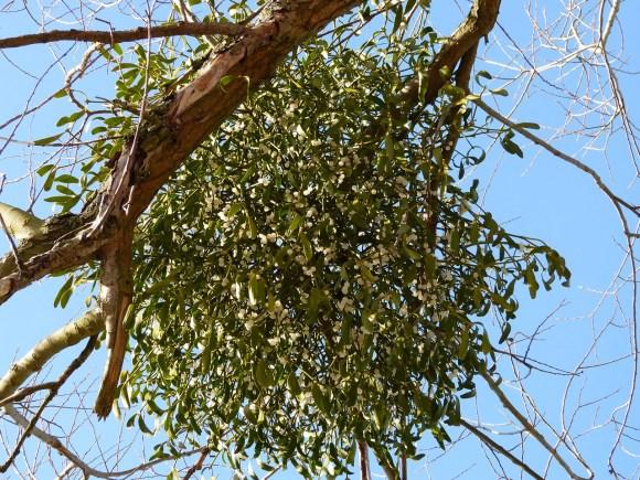 mistletoe parasite