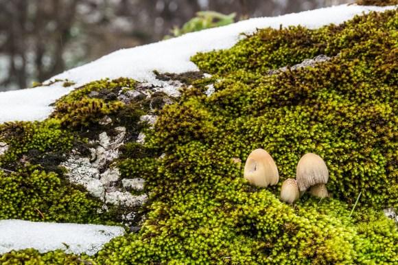 pioneer mushroom