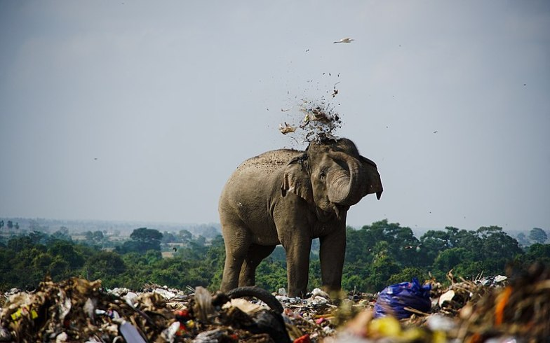 Look How These Elephants Feed On Plastic In Landfill