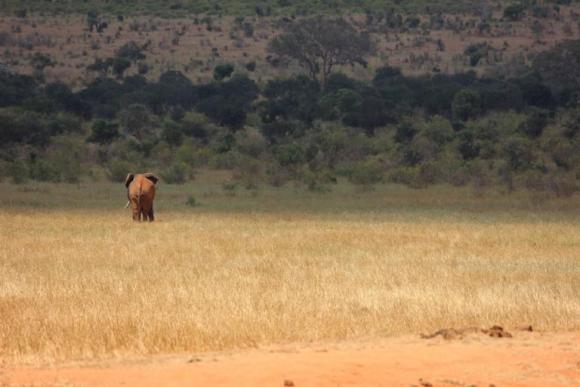 tsavo mwalua elephant