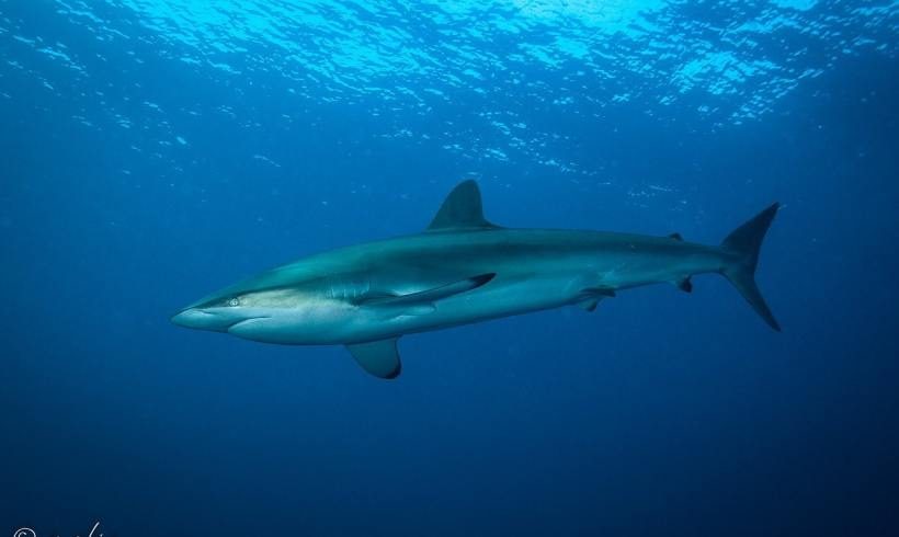 Indo-Pacific Ocean Still Targets Silky Sharks, Future Remains Unknown