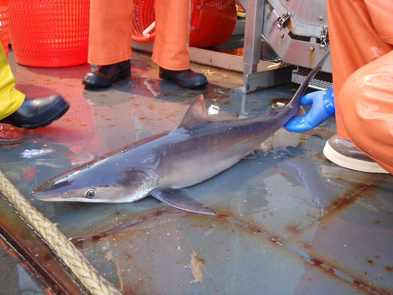 caught Silky Shark