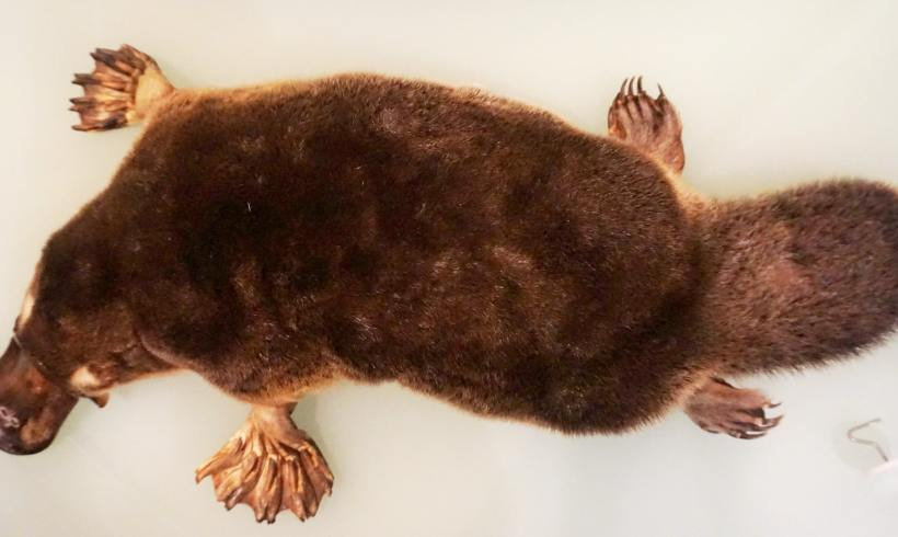 Thanks To Climate Change, Platypus Population Is Declining
