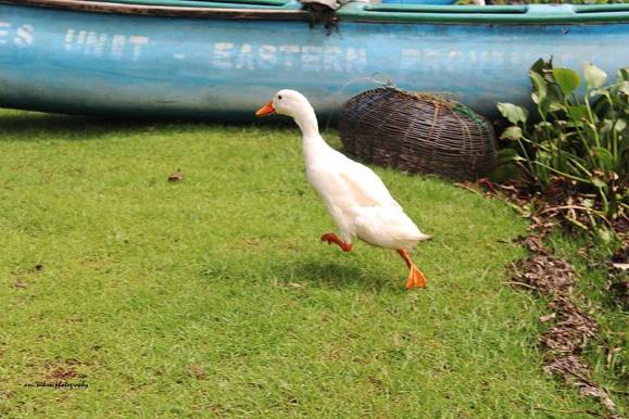 duck (wikimedia commons)