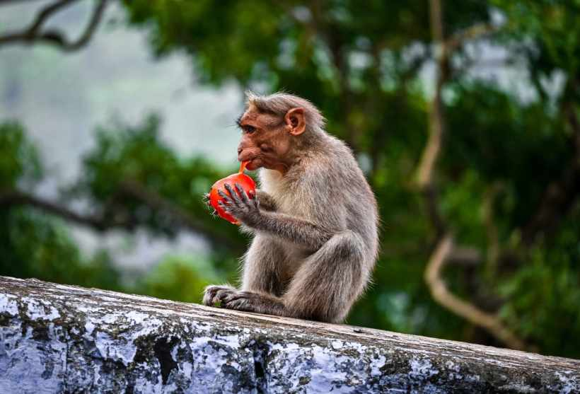 Let's Talk About The Peculiar Monkey 'Gang' War In India