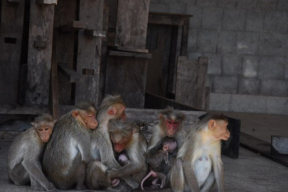 monkey in temple (wikimedia commons)