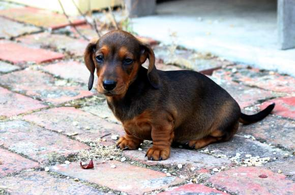 teacup puppy (wikimedia commons)